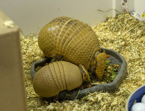 Three-banded Armadillo Born