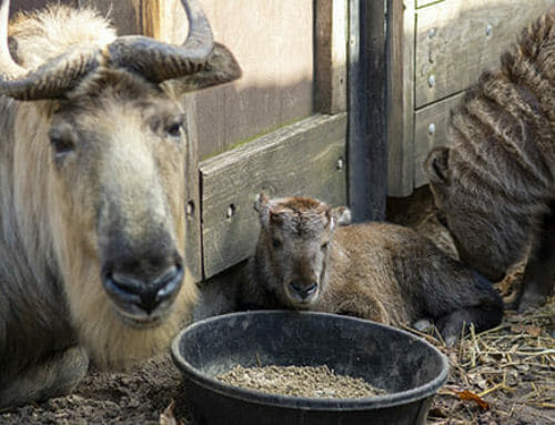 Second Takin Kid Born