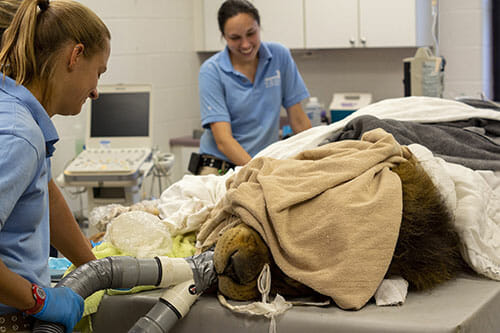 zoo keepers gretchen and erin care for african lion tango during his dental exam